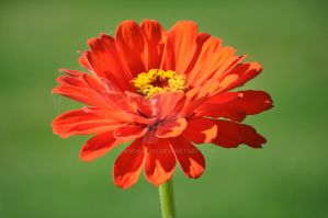 Zinnia blooming by snoogaloo
