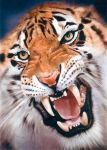 SIBIRIAN TIGER by illugraphy