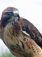 Male Red Tailed Hawk 6 by Malakhite