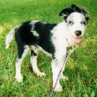 My Border Collie Puppy by RebelKiwi