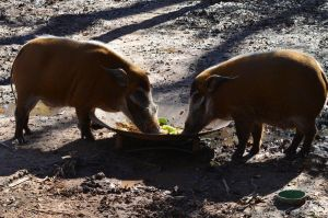 Red River Hog Stock 02 by Vesperity