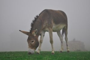 Donkey in the mist by yoman3d