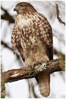Red-tailed Hawk: Close up by arwulf