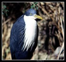 PIED HERON 2 by AdamsWife