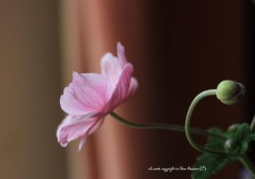 anenome japonica time by GeaAusten