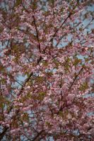 Full Cherry Tree by taeliac