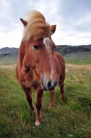 Icelandic Horse by leighd