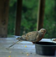 A Dove Guest by suezn