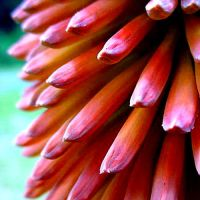 red-hot poker by tremble9