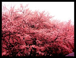 Tokyo Blossoms by ShanghaiBoo