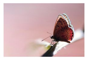 butterfly, pink by sergiemag