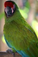 Parrot FL 2 by sarabil1
