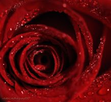 red roses by AACates