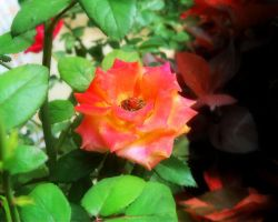 Red Rose by YadavThyagaraj