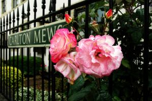 Carlton Mews Rose by EarthHart