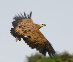 Black Collared Hawk by Ojos-de-Aguila