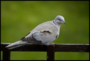 sitting dove by 001mark