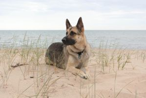 German Shepherd at the Beach by elvaniel