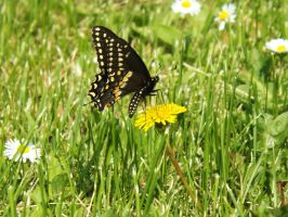 Black Swallowtail Butterfly by AppleBlossomGirl