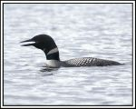Loon Call by jesse-botanical