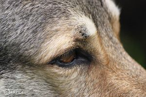 Eyes of an Old Wolfdog by Czertice
