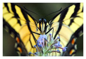 eastern tiger swallowtail by photom17