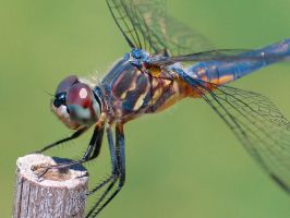 BLUE DRAGONFLY by Sandy33311