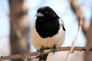 Black billed magpie by sgt-slaughter