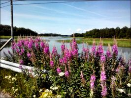 Blooming Lupines At The Arcipelago Road June 6 by eskile