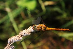 Yellow Dragonfly by Kaptured-by-Kirsty