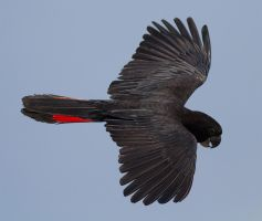 Red Tail Black Cockatoo by DPaZZa