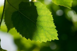 Day 166: Summer Leaves by Kaz-D