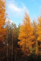 Larch in gold I by rosaarvensis