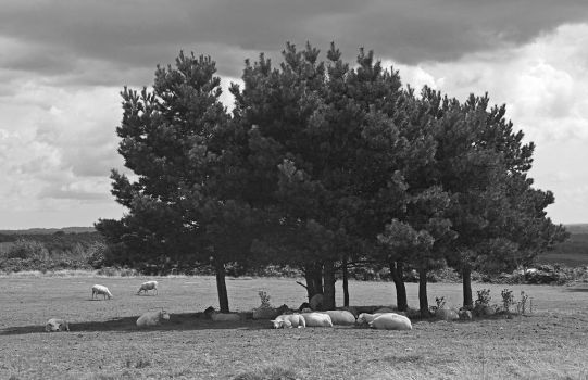 Sheep and the tree by spurs06