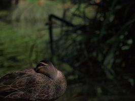 Resting Duck by HempHat