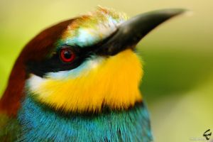 Merops apiaster by myanida