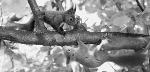 Courting squirrels III by starykocur