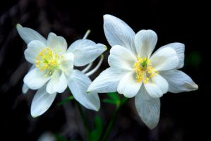 Colorado Columbine by MellsPics