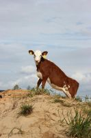 Calf On Top Of A Sandhill by purstotahti