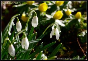 Blooming Snowdrops by Miarath
