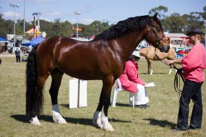 STOCK - Gold Coast show 281 by fillyrox