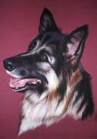 German Shepard drawing by lalabellexx