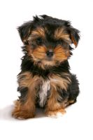 Yorkie by superhawkins