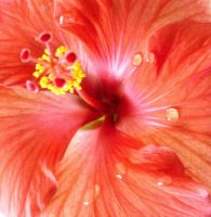 For The Love of Hibiscus by LadyAliceofOz