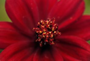 Simply Red by PenguinPhotography