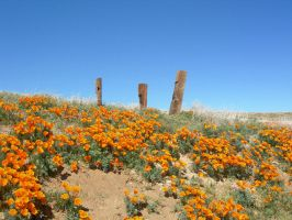 Posts and Poppies by zootnik