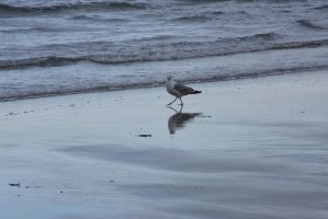 The Beach Reflection, Seagull 2 by Miss-Tbones