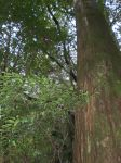 Yakushima Cedar tree by Wilya12