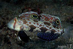 twinspot goby by aquanauts74