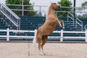 palomino quarter horse rear on command by slime-stock